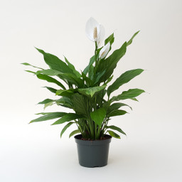 Gift of One Peace Lily Plants