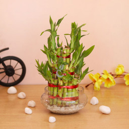 3 Layer Lucky Bamboo Plant Gift